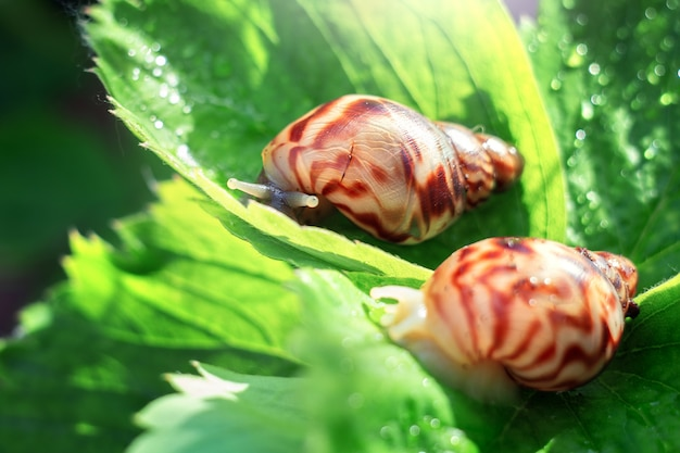 Two snails are sitting on a leaf of strawberry on a sunny day.