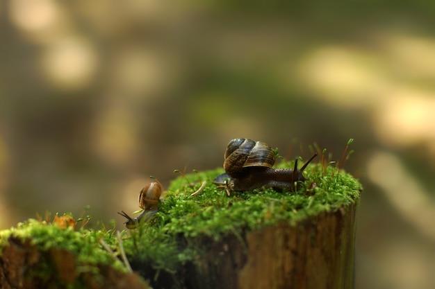 Две улитки ползают в разные стороны рано утром по пню с мхом в лесу.
