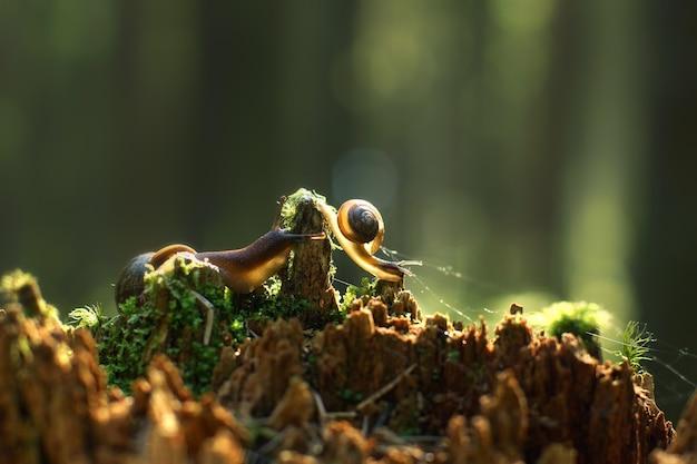 2つのカタツムリが朝の森で壊れた赤い切り株に沿って忍び寄り、太陽に照らされています。