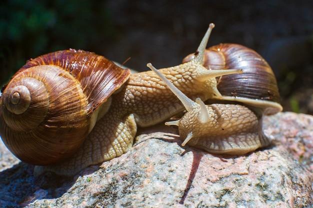 화창한 날 두 달팽이가 돌 위에서 서로를 껴안고 있습니다. 따뜻한 감정이나 사랑. 커플 개념입니다.