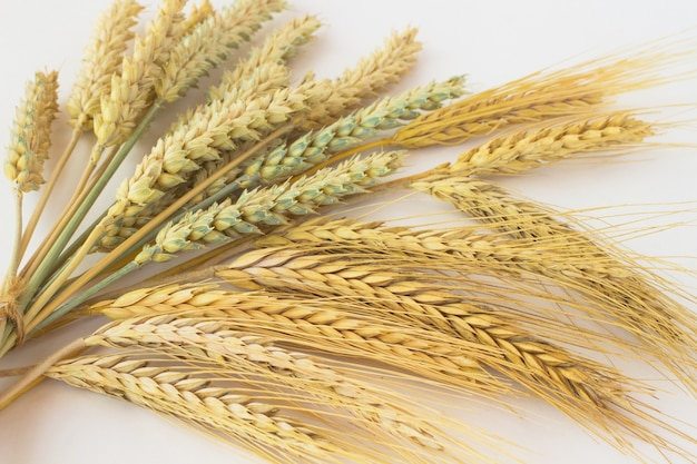 Two sort of wheat. spikes of wheat are tied together.