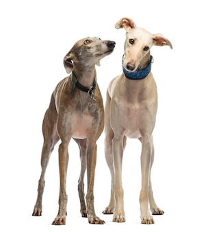 Two spanish galgo standing, isolated on white