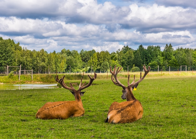 Two speckled deers are lying on grass