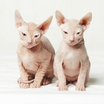 Two sphynx kittens staring with angry expression