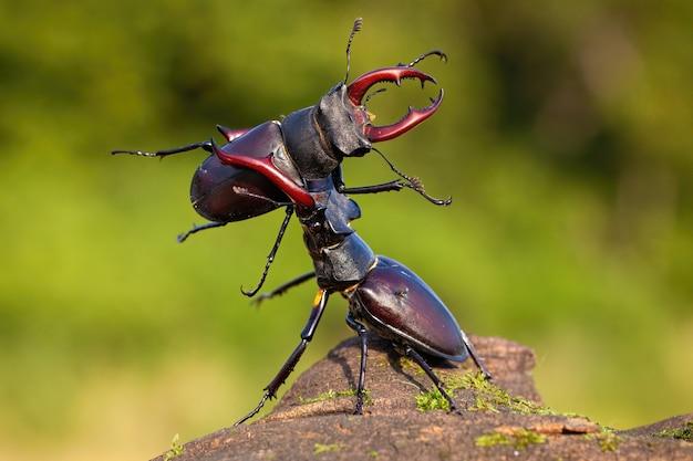 Два жука-оленя оспаривают свою власть над территорией