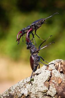 Два жука-оленя воюют друг с другом на дровах.