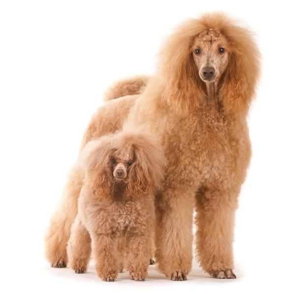 Две стоячие собаки пуделя на белом