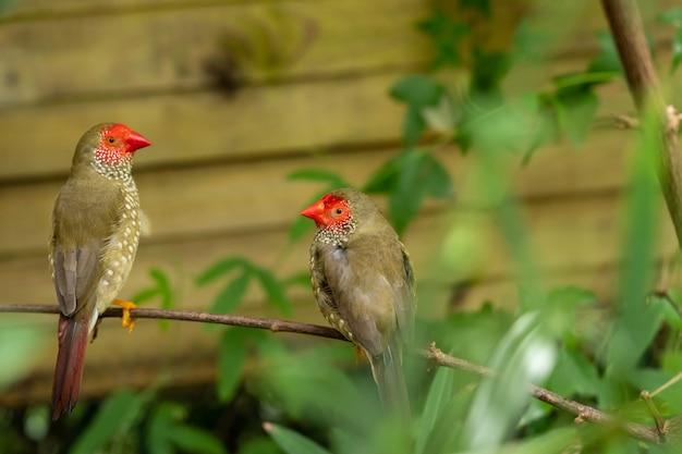 Две звездные зяблики или маленькие птицы neochmia ruficauda, сидящие на ветке дерева между зелеными листьями