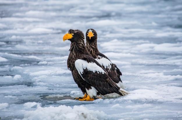На льду сидят два белоплечих орлана. япония. хаккайдо. полуостров сиретоко. национальный парк сиретоко.