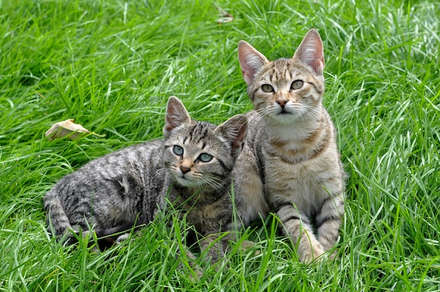 緑の草に座っている2匹の縞模様の子猫