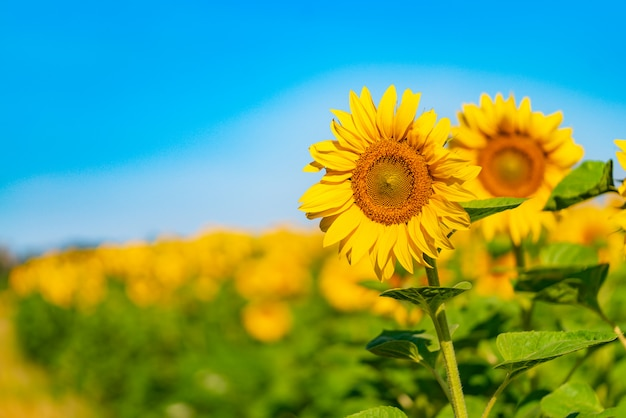 Two sunflowers are depicted on the background of a field and a blue sky in the summer. close-up