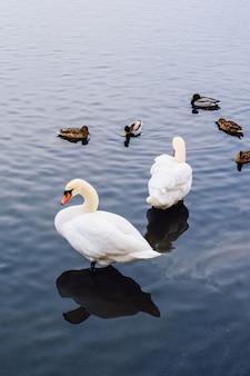 Два лебедя и утки на пруду.