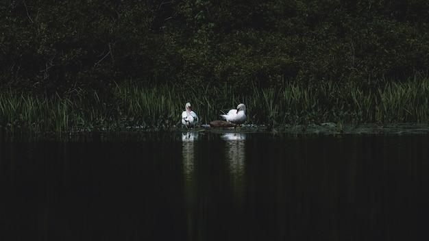 Два лебедя на озере