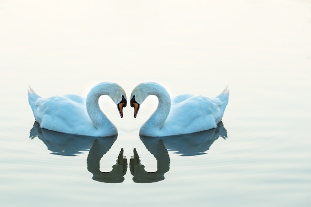 ハートの形をした2羽の白鳥