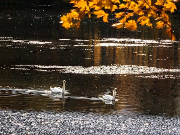 秋の公園で2つの白鳥