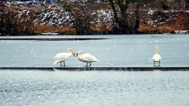 川の氷の上の冬の 2 羽の白鳥、別の白鳥