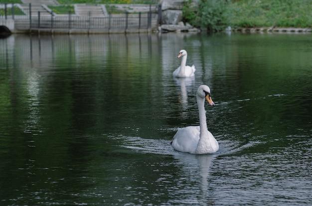 두 마리의 백조가 공원의 물을 따라 부드럽게 헤엄치고 있습니다.
