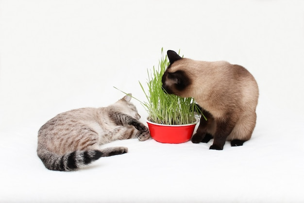 Two thai cats eat grass.