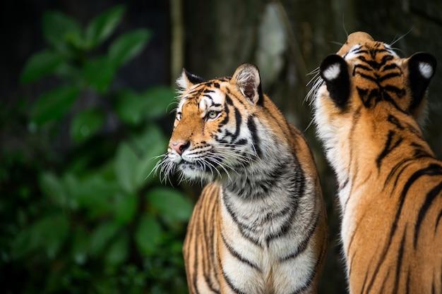 Два тигр стоит и с интересом смотрит на что-то.