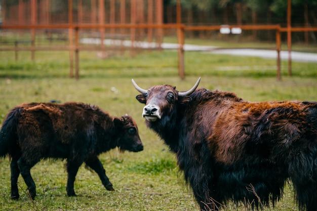 動物園で2つのチベットのヤク