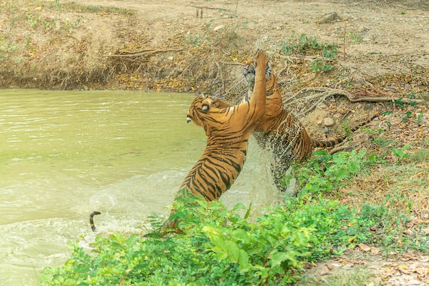 Two tiger fight in pond.