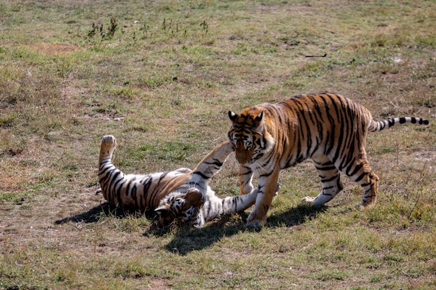 Два тигра играют друг с другом. парк тайган