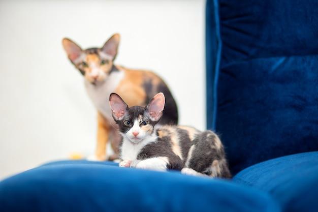 모피를 가진 삼색 스핑크스 고양이 두 마리가 소파에 앉아 있습니다.