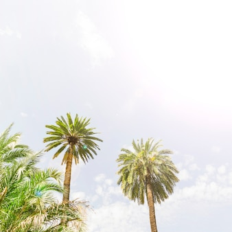 Two tropical date palm trees against sky
