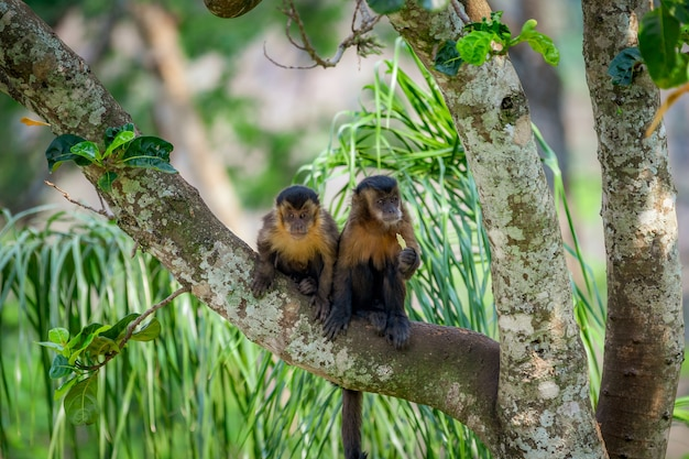 Two tufted capuchin monkey