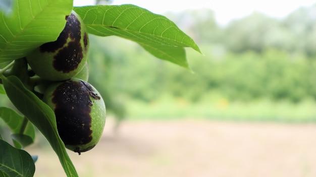 自然の庭や園芸農場で夏に葉に囲まれた木の枝に黒い斑点がある細菌性膣炎の2つの未熟なクルミ。コピースペースによるセレクティブフォーカス。