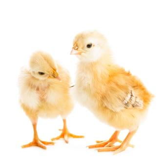 Два различных цыплят клюют просо, изолированные на белом