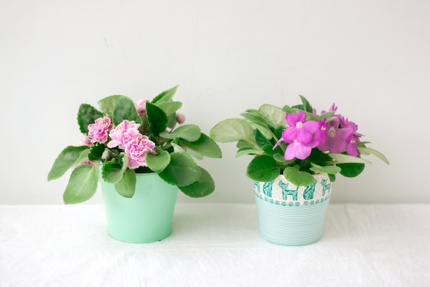 Two violets purple and pink stand on a light background in small pots.