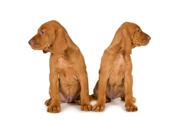 Две собаки визслы бок о бок на белом
