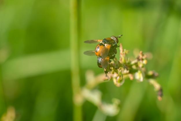 잔디에서 서로의 위에 두 말벌. 고품질 사진
