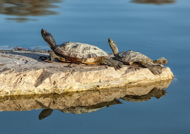 Two water turtles