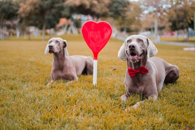 秋の草の上にハートを挟んで座っている2匹のワイマラナー犬。