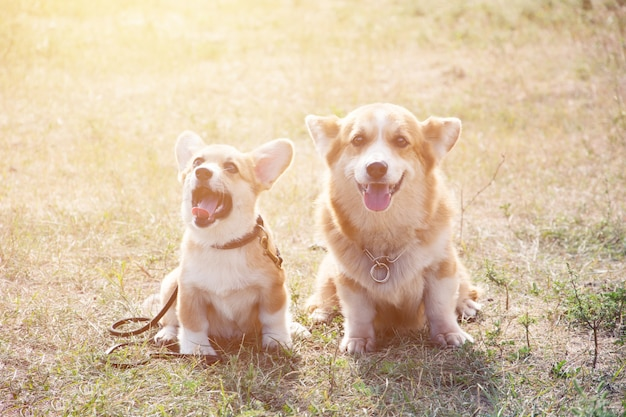 Two welsh corgi on grass