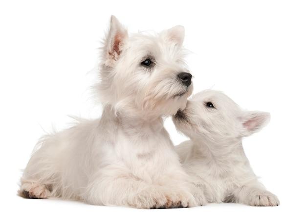 4ヶ月と7週齢の2匹のウエストハイランドテリア子犬