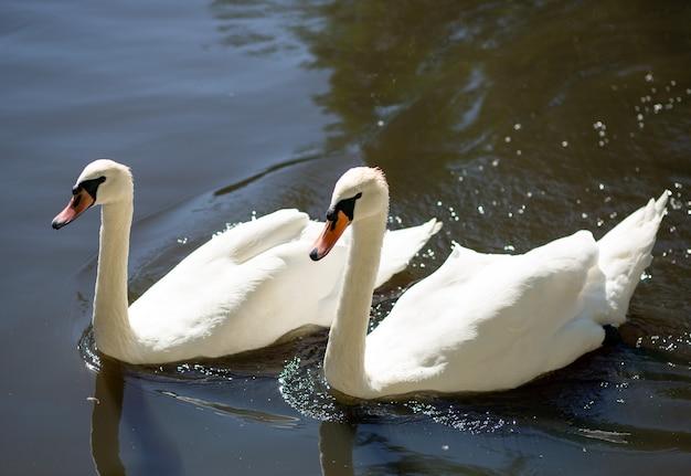 2羽の白い大人の白鳥が湖で泳ぎ、フレームをのぞき込む