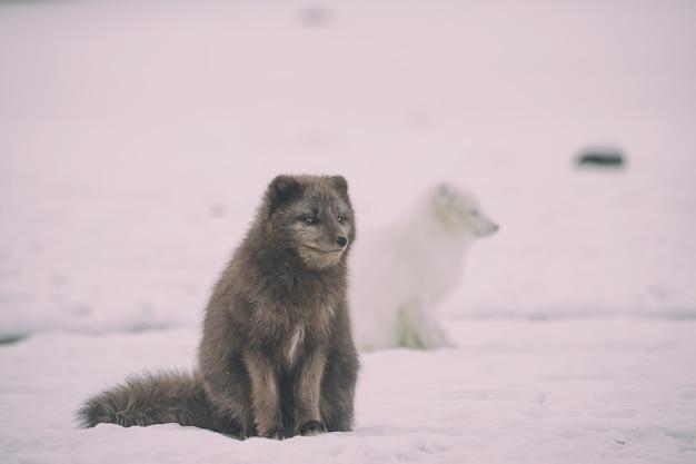 氷の上に2匹の白と黒のオオカミ