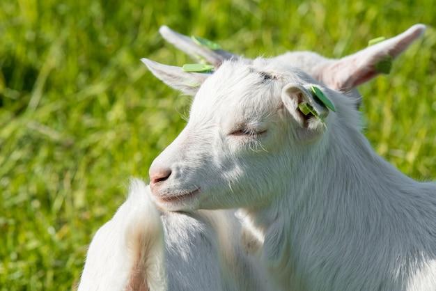 緑の芝生またはフィールドの上に立って2つの白い赤ちゃんヤギ