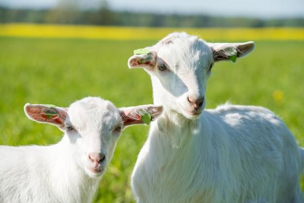 Две белые козочки стоят на зеленой лужайке или поле