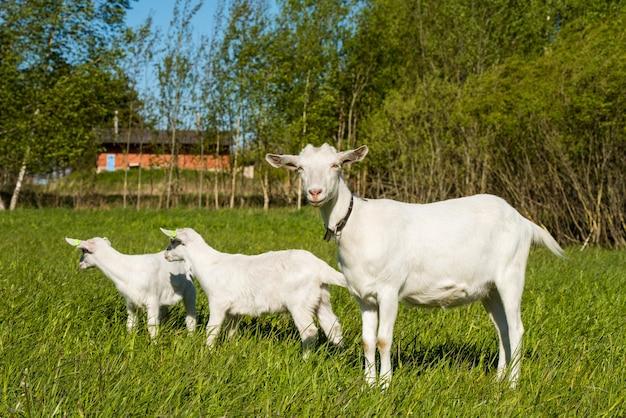 緑の芝生や野原に立っている母親と2つの白い子ヤギ