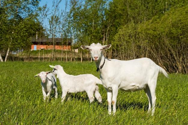 緑の芝生またはフィールドに立っている母親と2つの白い赤ちゃんヤギ