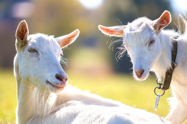 2 белых бородатых козы пася в зеленой траве луга на яркий солнечный летний день.