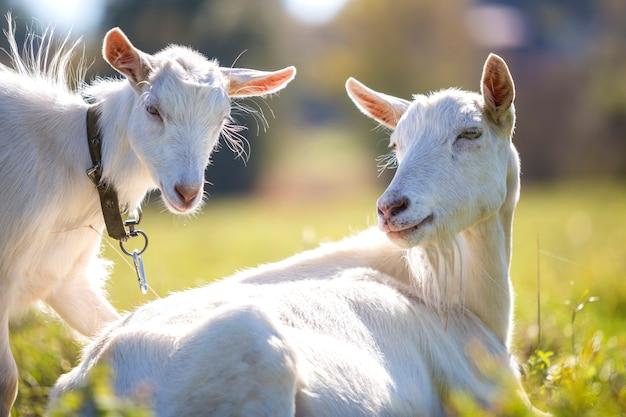 明るい日当たりの良い夏の日に緑の牧草地の草で放牧2つの白いひげを生やしたヤギ。
