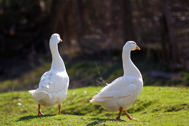 Two white big geese peacefully walking together in green grassy meadow towards dark blurred forest on bright sunny day. beauty of birds, domestic poultry farming and wild life protection concept.