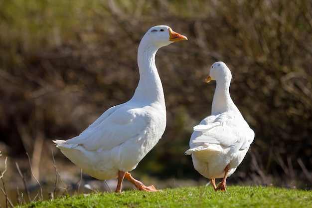 Two white big geese walking together in green grassy meadow