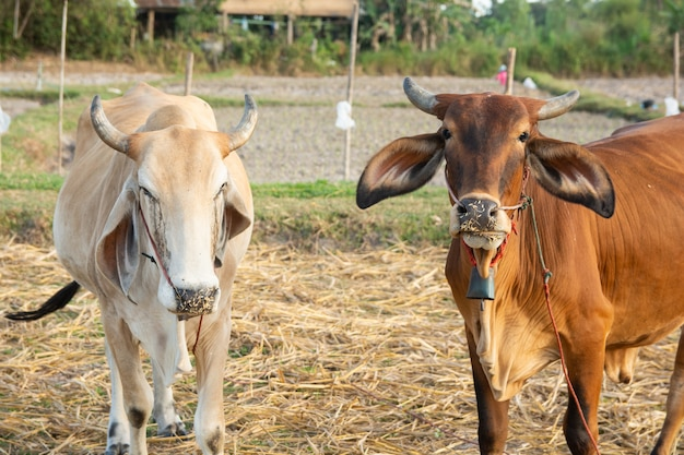 Two white and brown cow on field