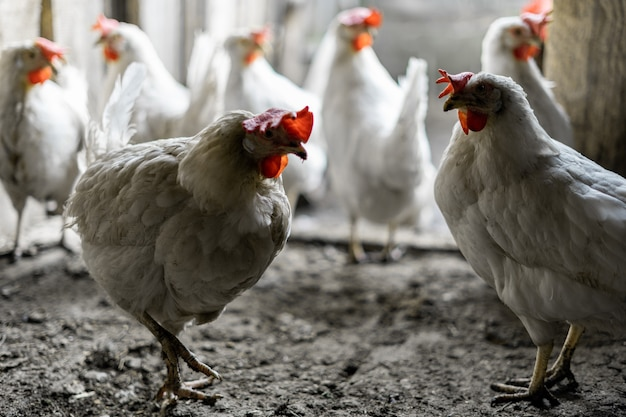 Two white chickens stand against the background of a flock of chickens at the exit of the chicken coop. farm